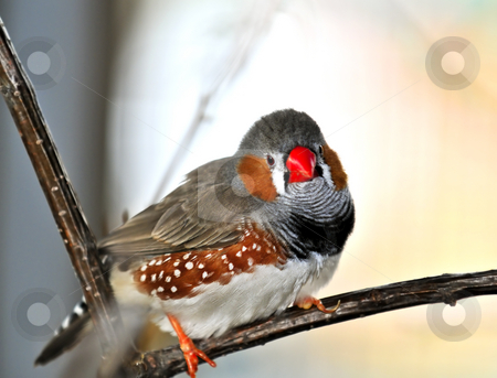 Zebra finch stock photo, Zebra finch (Taeniopygia guttata) perched on branch by Elena Elisseeva