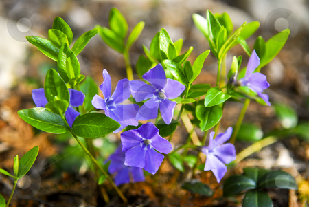 Purple wildflowers closeup stock photo, Closeup of wild purple violet flowers and leaves by Elena Elisseeva