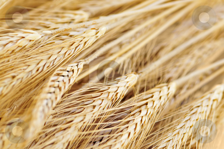 Wheat ears stock photo, Golden brown ripe wheat ears close up by Elena Elisseeva