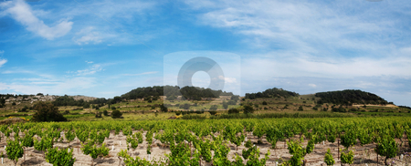 Panoramic grapevines  landscape stock photo, Panoramic grapevines landscape in Southeastern France by Laurent Dambies
