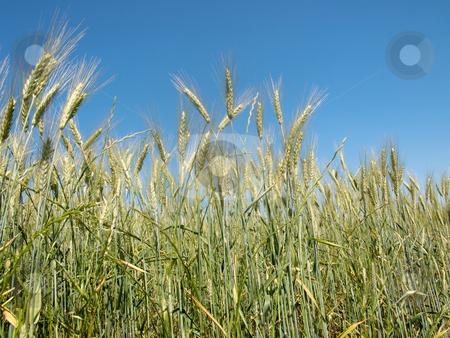 Wheat field stock photo, Wheat field under blue sky by Laurent Dambies