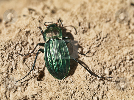 Green scarab stock photo, Macro of a green scarab on dry soil by Laurent Dambies
