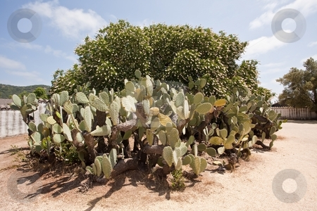 Opuntia stock photo, Opuntia, also known as nopales, or Paddle Cactus from the resemblance to the ball-and-paddle toy, is a genus in the cactus family, Cactaceae. by Mariusz Jurgielewicz