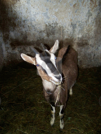 Goat stock photo, Goat by Sarka