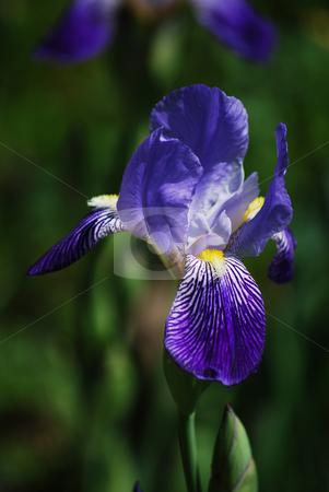 Blue iris stock photo, Blue iris by Sarka