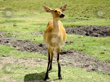 Female Deer stock photo, Female deer scenting the air by Cheryl Bowman