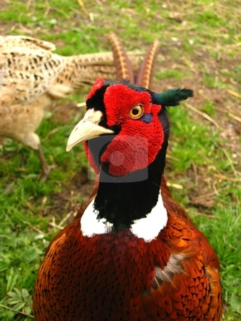 English pheasant stock photo, Curious english pheasant by Cheryl Bowman