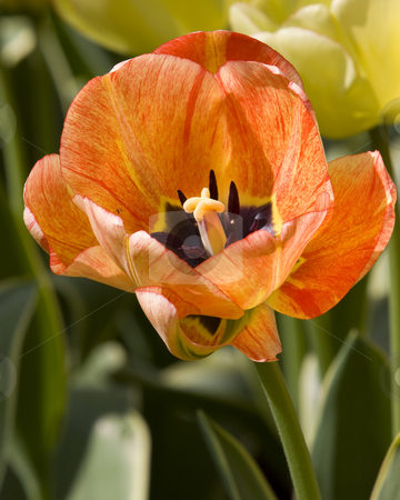 Close-up of a Dutch Tulip stock photo, Close-up of a Dutch Tulip by Inge Schepers