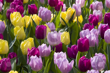 Colorful Dutch Tulips stock photo, Colorful Dutch Tulips, miainly purple, pink and yellow by Inge Schepers