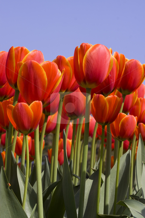 Colorful Dutch Tulips stock photo, Colorful Dutch Tulips against a clear blue sky by Inge Schepers