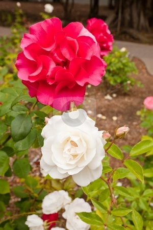 Rose stock photo, A rose is a perennial flower shrub or vine of the genus Rosa, within the family Rosaceae, that contains over 100 species and comes in a variety of colours. by Mariusz Jurgielewicz