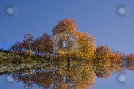 Fall Reflections stock photo, Reflections of Aspen trees in the Fall by Mark Smith