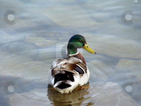 Male mallard  stock photo, Male mallard by CHERYL LAFOND