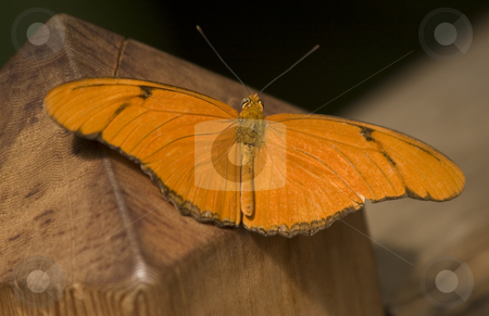 Orange Julia Butterfly Macro stock photo, Orange Julia Butterfly Close Up Macro by William Perry