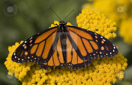 Monarch Butterfly on Yellow Flower stock photo, Monarch Butterfly on Yellow Flower Close Up Macro by William Perry