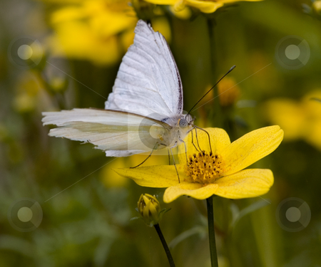 Great Southern White Moth Close Up stock photo, Great Southern White Moth on Yellow Flower Macro Close Up by William Perry