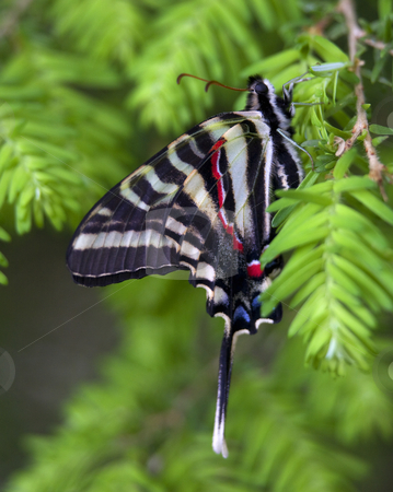 Zebra Swallowtail Butterfly Close Up stock photo, White Black Red Blue Zebra Swallowtail Butterfly Hanging From Tree Close Up by William Perry