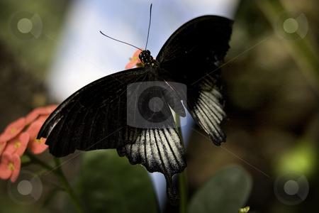 Scarlet Swallowtail Butterfly stock photo, Scarlet Swallowtail Butterfly Male, White and Black Next to Pink Flower Papilizo by William Perry
