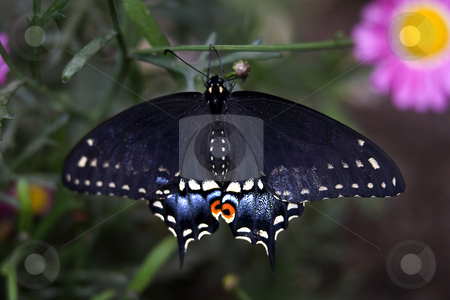 Spicebush Swallowtail  stock photo, Black Blue and Red Spicebush Swallowtail Butterfly Papilio troilus Hanging from Branch  with Pink Flower in Background by William Perry