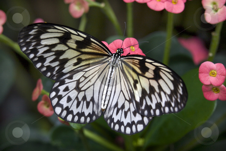 Rice paper Paper or Paper Kite Butterfly on Pink Flowers stock photo, Black and White Rice Paper or Paper Kite Butterfly, Idea Leuconoe, on Pink Flowers with Wings Outstretched by William Perry