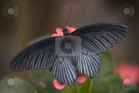 Papilio Rumanzovia Black White Butterfly on Pink Flower stock photo, Papilio Rumanzovia Black White Butterfly on Pink Flower with Wings Outstrecthed by William Perry