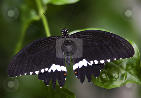 Black White Common Swallowtail Butterfly stock photo, Black White Common Swallowtail Butterfly,Papilio Polytes, on green leaf with wings outstretched by William Perry