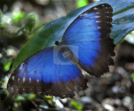 Blue Morpho Butterfly stock photo, Common Blue Morpho Butterfly, morpho peleides, on green leaf with wings outstretched by William Perry