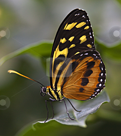 Large Tiger Monarch Butterfly  stock photo, Large Tiger Monarch Butterfly, Lycorea Cleobaea, sitting on green leaf with wings folded Macro by William Perry