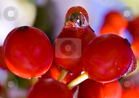 Red Berry World stock photo, Red Berry World.  Water Dripping from Red Berries after snow creates little worlds in water droplets by William Perry