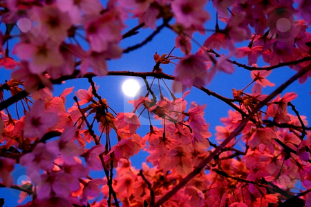 Moon Shining Through Cherry Blossoms stock photo, Moon shining through Cherry Blossoms in Spring by William Perry