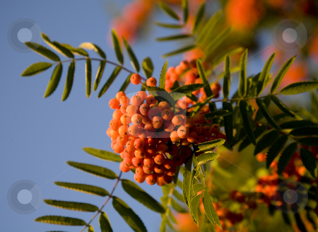 Orange Berries Pyracantha Against Blue Sky stock photo, Orange Berries, Pyracantha, Against Blue Sky by William Perry
