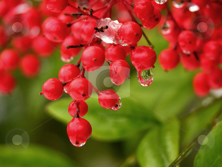 Water Drop Off Red Berries stock photo, Water Drop Off Red Berries After Snow by William Perry