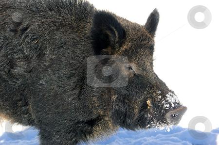 Wild Boar stock photo, Wild Boar in winter by Alain Turgeon