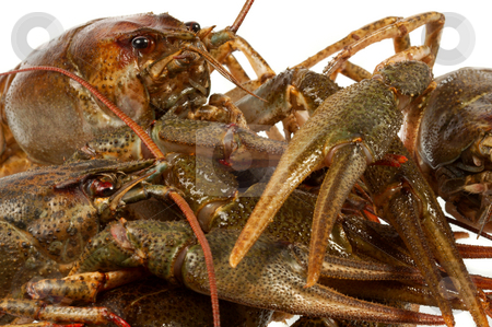 European crayfish stock photo, River crayfish on a white background. It is very tasty and dietary food. by Sergey Goruppa