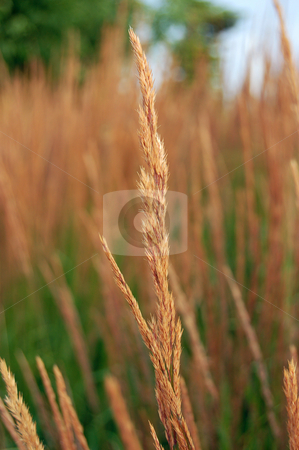 Dry grass stock photo, Dry blade of grass in front of dry and green grass by Pavel Cheiko