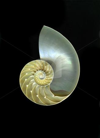 Nautilus stock photo, Chambered nautilus close-up isolated on black background by Christian Slanec