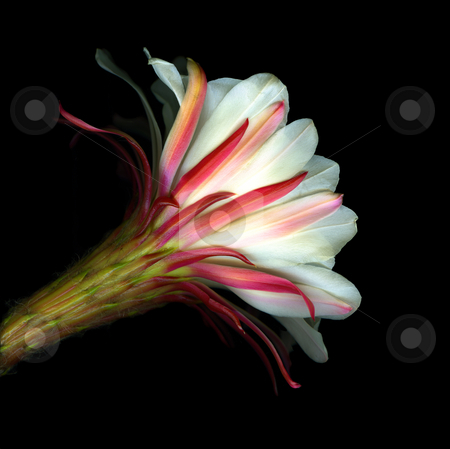 Cactus Flower stock photo, Blooming white cactus flower isolated on black background by Christian Slanec