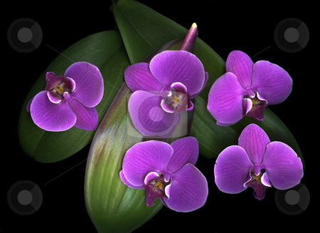 Orchids On Green stock photo, Exotic purple orchids and leaf isolated on black background by Christian Slanec