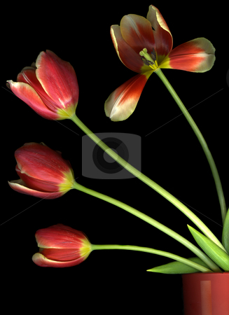 Pot of Tulips stock photo, Beautiful red tulips in a flower pot isolated on black background by Christian Slanec