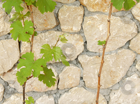 Green vine leaves stock photo, Young green vine leaves outdoor over stone background by Julija Sapic