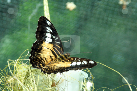 Butterfly stock photo, The bright beautiful butterfly pleases an eye by Aleksandr GAvrilov
