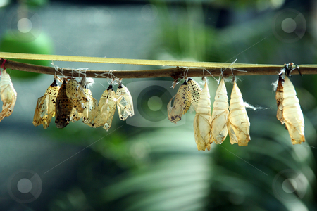 Cocoon stock photo, From a close cocoon the beautiful butterfly was liberated by Aleksandr GAvrilov