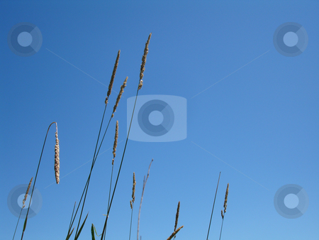 Wild grasses against blue sky stock photo, Wild grasses against a blue sky by Paul Malandain