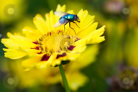 Fly on a flower stock photo, A macro picture of fly on a yellow flower by Hieng Ling Tie