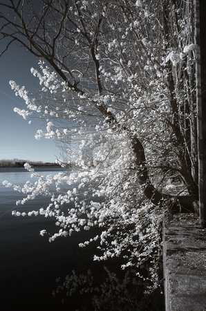 Tree with white leaves stock photo, Tree shot in infrared growing in some ruins around Philadelphia. by Eric Lukavsky