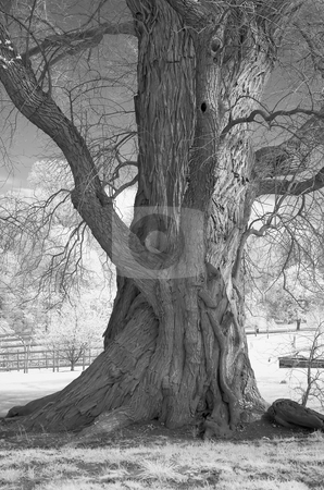 Infrared of an Old Tree stock photo, Old tree shot in infrared. by Eric Lukavsky