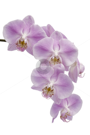 Flowers of a Phalaenopsis orchid hybrid stock photo, Many pink and white flowers of a  Phalaenopsis orchid hybrid isolated against a white background vertical by Stephen Goodwin