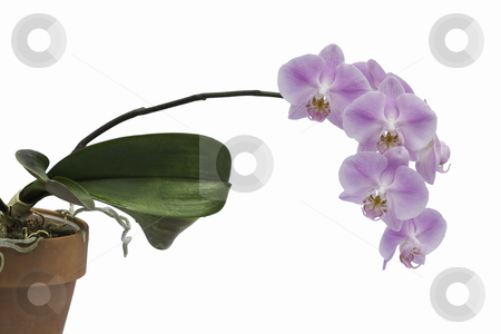Spray of pink orchid flowers and plant stock photo, Spray of pink flowers from a Phalaenopsis orchid growing in a clay pot isolated against a white background by Stephen Goodwin