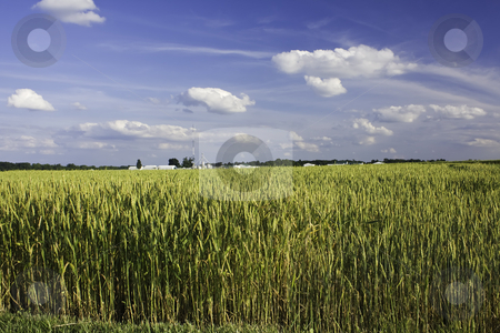 Ripening field of wheat with blue sky and clouds stock photo, Ripening field of wheat on a farm with blue sky and clouds in the background by Stephen Goodwin