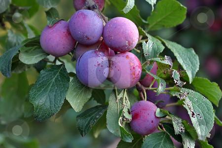 Purple fruits of a Stanley prune plum stock photo, Purple fruits of a Stanley prune plum (Prunus domestica) ripen in the late summer sun on a tree in a home orchard by Stephen Goodwin